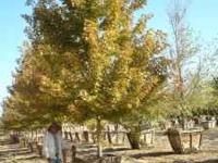 SPECIMEN TREES STARTING AT ONLY $100.00. OVER 8,000