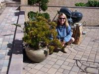 Large Jade Plant in a big quality glazed pot. Call