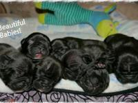 AKC French Bulldog Puppies- BLUE CARRIERS. We have a