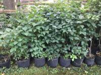 LARGE PURPLE LILAC Shrubs-Fragrant-Potted! $80 or 5 for