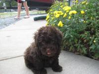 AKC Registered- Large Toy/Small Miniature Poodle