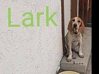 Lark's story Lark is a handsome 16 week old Coon Hound!