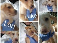 Meet the lab pups Lacy, Lori, Lionel, Luke, Logan and