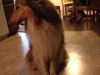 Maxx, born upon October 17, 2010, is a Tough Collie