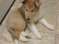 I am rehoming my lassie pup. She is 8 weeks old now,