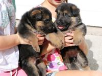 lassitude German shepherd Puppies Male And Female..Only