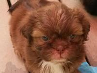 Continental(ckc) registered shih tzu baby boy. He is