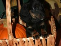 We have 1 even more CKC Long-hair Dachshund male puppy