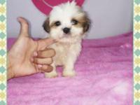 1 Imperial Shih Tzu Puppy Available... Ready to Go to