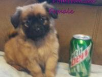 Little Pomeranian Female pup for sale $250.cash on