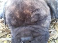 Last male bullmastiff pup available! He is a gorgeous