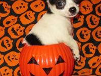 ( LAST MALE ) CKC Male Chihuahua puppy available for