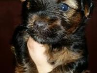 Beautiful lil male will be ready 9-10. Will come with