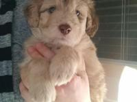 This little guy is our last merle Bordoodle puppy