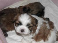 ~~~~ONLY ONE PUPPY LEFT~~~~~ brown and white