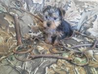 Purebred Yorkie male pup. He is 8 Weeks old today and