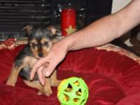 Animal Type: Dogs Last Tiny Yorkshire Terrier Puppy For