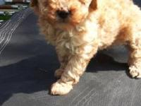 Pure Toy Poodle puppy female Looking for her new loving