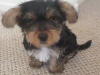 I HAVE ONE YORKIE LEFT FROM A LITTER OF 3. HE IS 9