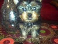 Here is this beautiful Yorkie girl for sale. She is 9