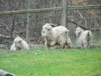 We have 4 Female Angora Goats $75 each or $200 for all,