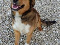 Laura's story Laura is a female Sheltie/Shepherd Mix