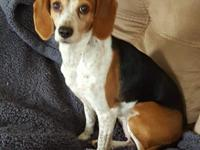 Lauren is a very sweet little beagle. She weighs just
