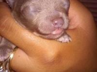 3 Beautiful lavender 2 week old male toy Chihuahuas,