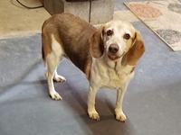 Laverne's story Laverne is your perfect lil beagle. She