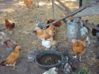 Several Laying hens of different breeds. Most are year
