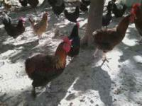 I have several different breeds of Hens/Roosters for