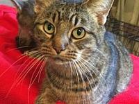 Layla's story Layla is a gray tabby and the most loving