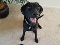 Layla is a 4-year-old spayed black female lab. She