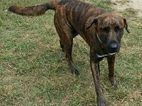 Laysea's story Laysea. 1 year old Mountain Cur lab mix.