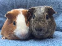 Lazzlo and Rhett are a lovely bonded pair of male cuy