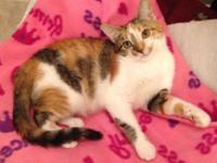 Leah is a DSH Calico/Tabby Female Kitty which was saved
