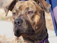 Leah's story I'm a 1 and a half year old female brindle