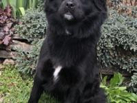 Leah is a 9 month-old Chow/Border Collie mix girl. She