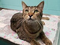 Leah's story Leah is a sweet 2 year old female tabby.