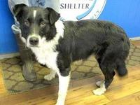 Lee's story 18-D06-045 Lee Breed: Australian Shepherd