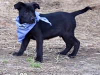 Lee, Lou, and Les are a trio of adorable black lab mix