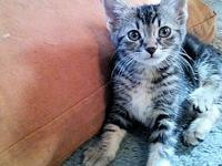 Leena's story Leena is a female grey tabby kitten, born