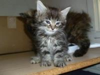 Legend Lynx! Rare New Breed! New Litters; Polydactyls