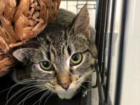 My name is Lehi and I am a 1 year old, female, DSH,