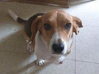 Leia's story Attention Beagle Lovers! Leia is a 2 year