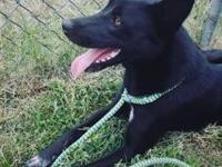 My story Leia is a gorgeous black shepherd mix with a