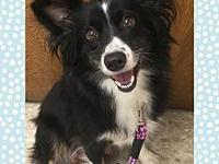 Leila's story Leila is a 2-3 year old Mini Aussie. She