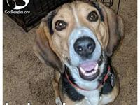 Leland's story Leland is a young adult beagle who still