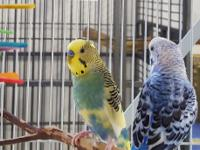 Lelo is a 2 year old teal and yellow male budgie.  His