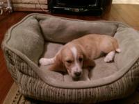 10 week old lemon and white basset hound pups. Ready